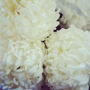 Chrysanthemen - Blumen - Pflege