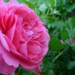 Luxus Bad aus Rosen Milch und Honig