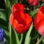 Tulpen bleiben frisch in der Vase