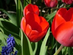 tulpen bleiben frisch  der vase