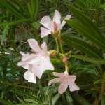 Pflege für den Oleander