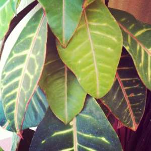 Pflanzen - Pflege von einem Gummibaum