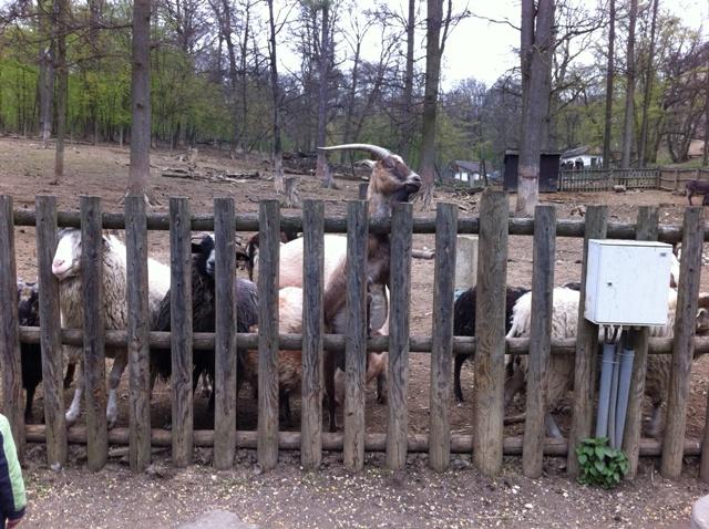 Ziegen, Esel Schafe und Schweine im Tierpark Ernstbrunn
