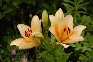 Blütenstaub der Lilie