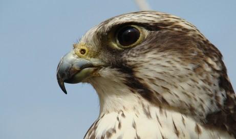 Falken: mystische Wesen und erfolgreiche Jäger